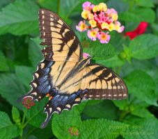 Eastern Tiger Swallowtail butterfly by DorothyPugh