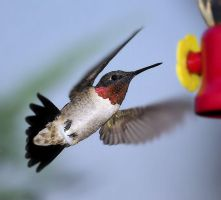 humming bird 4 by Gooiool