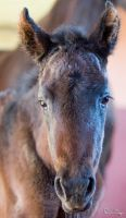 Lusitano Filly by Deirdre-T
