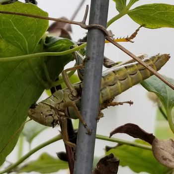 Grasshopper with view of legs by MurcMarischal