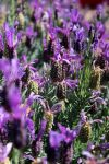Kingdome of Lavender by ButterflyFyre