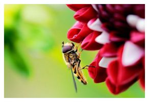 Hover Fly II by proac150
