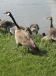 Ducks and Geese 10 by MindlessAngel