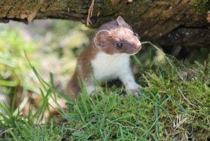 Stoat by katdarkshines