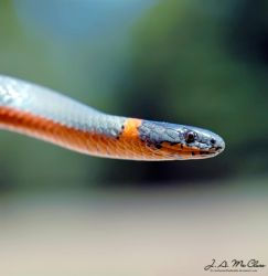 Coral-Bellied Ringneck Snake by CanYouSeeTheRealMe