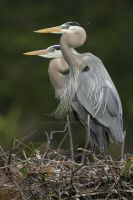 Great Blure Heron Nest by datfly