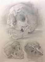 Skulls study by AnaviTil