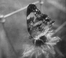 Butterfly 080108 by Couleur345