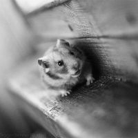 Hamster IV by StacyD