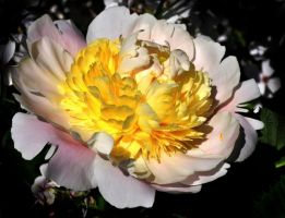 Chinese Peony by Althytrion