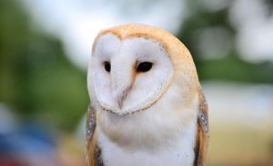 Barn Owl by HKW1994