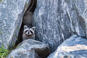 Racoon on the rocks by TomFawls