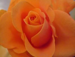 Orange rose by bamesphotography