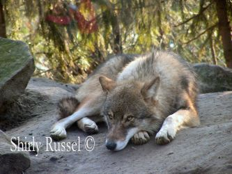 Canis Lupus by ShirlyRussel
