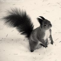 The squirrel by voland14