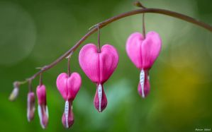 Bleeding Heart by AdrianGoebel