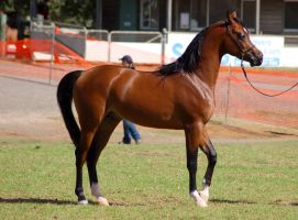TW Arab bay walking eyes closed by Chunga-Stock