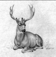 Mule Deer by honorat