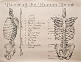 Bones of the Human Trunk by tamnguyenk