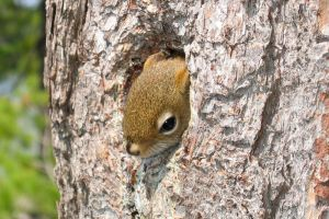 red tree squirrel at home by minamiko