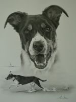 Commission - Collie 'Kodi' by Captured-In-Pencil