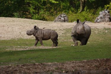Baby Rhino walking by bookscorpion