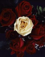 The Yellow Rose by drpablo