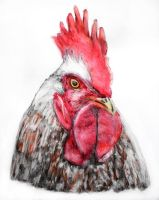 Rooster by grini