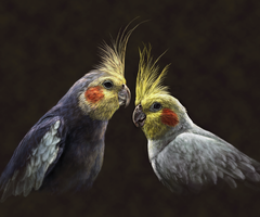 a Pair of Cockatiels by ArnaTornwolf