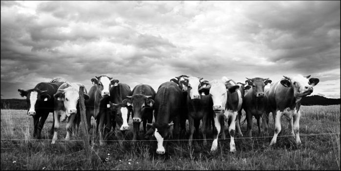 Cows by jfphotography