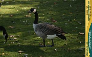 Canadian Goose 1 by RoonToo
