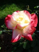 White and pink rose in the sun 3859, holyoke ma by caspercrafts