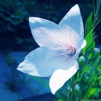 white flower by sataikasia