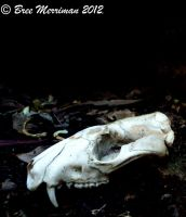 Quoll Skull by BreeSpawn