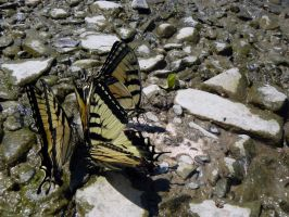 Swallowtails by InfinityandOne