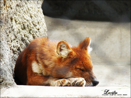 dhole by Lucifiu