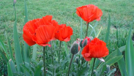 Poppies will make you sleep by adderx99