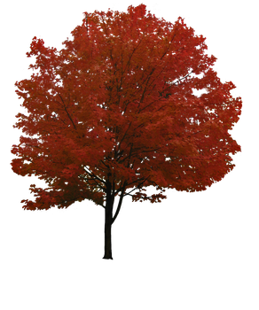 Maple Tree PNG by simfonic