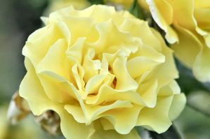 Another pale-yellow rose by OfTheDunes