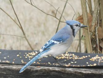 Blue Jay 2 by VulcanSarek22