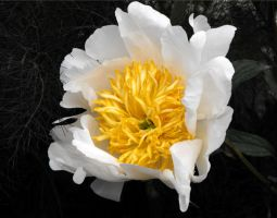 Peony of Chelsea by chaosia-photos