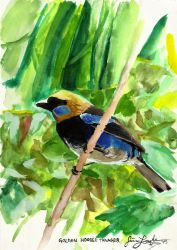 Golden Hooded Tanager by Tstar7