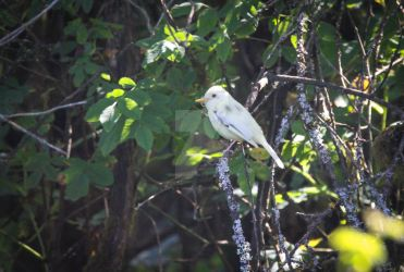 Genetic Lottery - Leucistic Willow Flycatcher by Spirit-whales