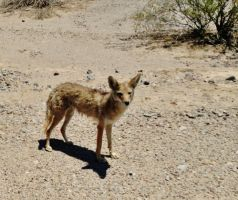 Wiley Coyote in Death Valley by AthenaIce