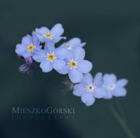 Forget-me-not by mieszkogorski
