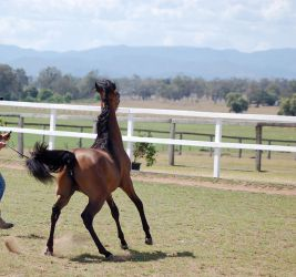GE arab bay filly canter view from behind by Chunga-Stock