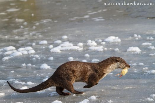 Otter 05 by Alannah-Hawker