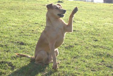 Terrier Mix Dog Lifting Paw by LuDa-Stock