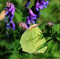 Brimstone Butterfly 4 by bluesgrass