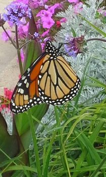 Monarch Butterfly - Alverno College by White-Turtle-Rainbow